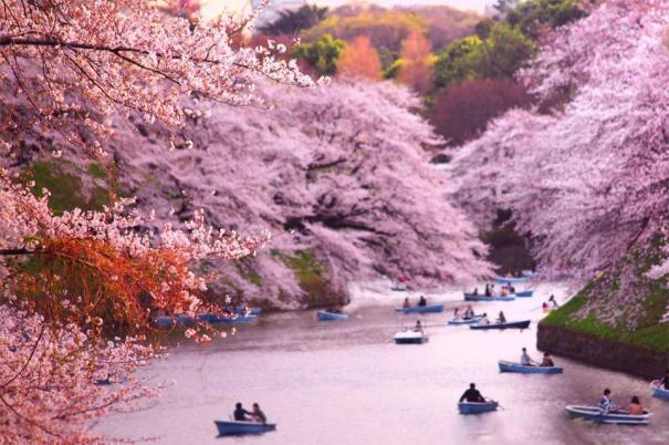 cherry japan2